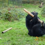 Wildlife park Anholter-Schweiz, Asiatic black bear wrestling a 'food parcel'