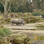 Dublin Zoo, Giraffe and rhino separated by a barrier of boulders