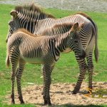Marwell Wildlife, Grevy's zebra, mother and foal