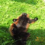 Marwell Wildlife, Red-ruffed lemur sunbath