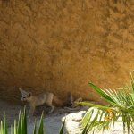 La Barben Zoo, Two fennec foxes in their desert-like exhibit