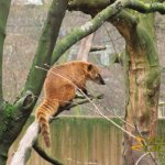 Antwerp Zoo, Coati enjoying his environment