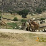 San Diego Zoo Safari Park, Giraffes on the African Plains