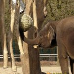 Tierpark Berlin, Elephant enrichment