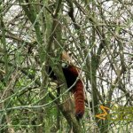 Antwerp Zoo, Red panda where it likes to be, high up in the tree