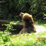 Wuppertal Zoo, Kodiak bear enjoying the 'jacuzzi'