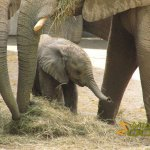 Wuppertal Zoo, African elephant calf, born 13.05.2013