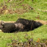 Wildlife park Anholter-Schweiz, Asiatic black bear snoozing after lunch