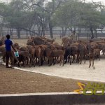 Delhi Zoo, National Zoological Park, Feeding of the herd of sambar deer (Rusa unicolor)