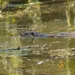 Wildlife park Anholter-Schweiz, 'Afternoon swim' of otter