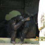 Los Angeles Zoo and Botanical Gardens, Chimps group therapy
