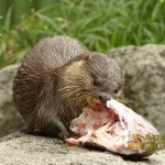 Auckland Zoo, Asian small-clawed otter with delicious fish head