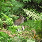 New Forest Wildlife Park, Red-necked wallaby