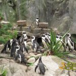 Bristol Zoo Gardens, African or black-footed penguins (Spheniscus demersus)