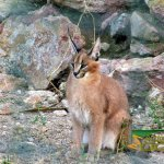 Athens Zoo, Caracal