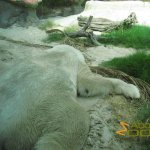 San Diego Zoo, Polar bear (Ursus maritimus) in heat survival mode