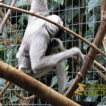 Zurich Zoo, pileated gibbon with young (indoor)