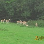 Port Lympne Wild Animal Park, Blackbuck antelope herd