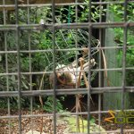 Newquay Zoo, Wire mesh 'fossa feeding ball' with dead rabbit