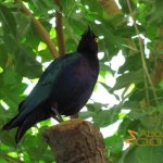 Budapest Zoo, Purple glossy starling (Lamprotornis purpureus) in Madagascar House