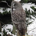 Stockholm Skansen Zoo, Great grey owl (Strix nebulosa)