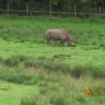 Port Lympne Wild Animal Park - African experience, Eastern black rhinoceros