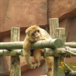 Rhenen Zoo, Ouwehands Dierenpark, The tough life of a Barbary macaque in captivity
