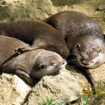 London Zoo, Lazy otters