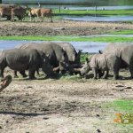 Hilvarenbeek Zoo, White rhinoceroses and Eland antelope