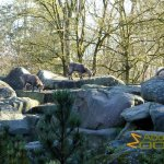 Tierpark Hellabrunn, Munich Zoo, Alpine ibex in its 'mountaineous area'