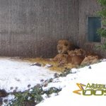 Copenhagen Zoo, the African lions keeping each other warm