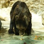 La Barben Zoo, Brown bear looking for its treat - apples