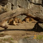 Tierpark Berlin, Asian lion pride