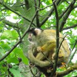 London Zoo, Black-capped squirrel monkey