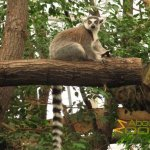 Budapest Zoo, Free roaming ring-tailed lemur in Madagascar House