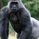 Top ten mammal species reliant on Zoos - 2013, Western lowland gorilla at Paignton Zoo
