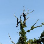 CERZA Zoo, CERZA Parc Zoologique Lisieux, Siamang at the place they love best, the treetops
