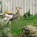Leeds Castle Aviary, Grey Crowned Crane chick