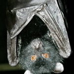 Top ten mammal species reliant on Zoos - 2013, Livingstone's fruit bat