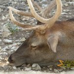 La Barben Zoo, Red deer suffering from the heat