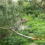 Central Park Zoo, Snow leopard