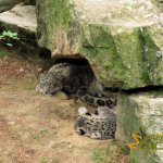 Peaugres Zoo - Safari de Peaugres, Snow leopards resting