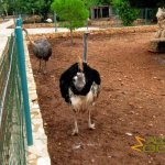 Paphos Zoo, Ostriches