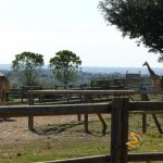 La Barben Zoo, Giraffes enjoying the vista