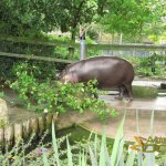 Bristol Zoo Gardens, Pygmy hippopotamus enjoying its outside enclosure