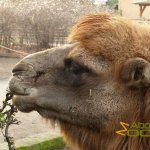 Krefeld Zoo, Headshot of the Critically Endangered bactrian camel