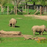 Marwell Wildlife, White rhinoceroses