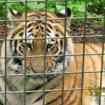 Port Lympne Wild Animal Park, Amur tiger