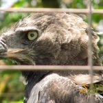 San Diego Zoo, Crowned eagle (Stephanoaetus coronatus)