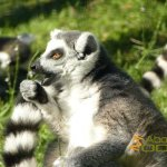 La Barben Zoo, Ring-tailed lemur